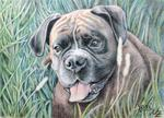 Arts And Dogs - boxer yosi